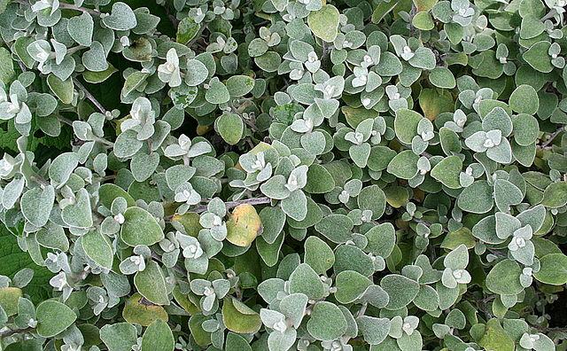 licorice foliage plants